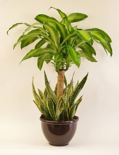 A beautiful Mass Cane & Sanseveria combo upgrade will refresh the air in your home and enhance your décor! Succulents In Containers, Container Plants, Succulents Garden, Garden Plants, Container Gardening, Planting Flowers, House Plants Decor, Plant Decor, Dish Garden