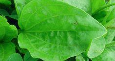 svejo.net | Живовлякът - чудодейна билка за много болежки