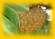Marolo - Annona crassiflora
