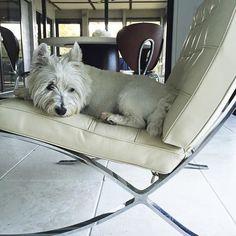 Favorite dog on my favorite chair 💕 Barcelona Chair, Westies, Van, My Favorite Things, Dogs, Pet Dogs, Doggies, Vans, Vans Outfit
