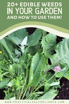 Eating edible weeds is an easy way to increase your garden's productivity.  While everyone loves to bring in the harvest, weeding is most people's least favorite part of gardening.  What if weeding could be harvesting?  When you know how to identify and use edible weeds, basic garden maintenance becomes more like a scavenger hunt. Diy Herb Garden, Garden Crafts, Garden Ideas, Starting A Garden, Seed Starting, Gardening For Beginners, Gardening Tips, Flower Gardening, Organic Herbs