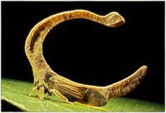Cladonota benitezi / 南アメリカ/新熱帯森林