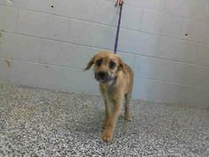 SAFE --- #A462763 Available 3/29  I am a female, brown Terrier mix. Shelter staff think i am about 10 months old. I have been at the shelter since Mar 22, 2014.   http://www.petharbor.com/pet.asp?uaid=SBCT.A462763  — hier: City of San Bernardino Animal Control-Shelter. https://www.facebook.com/photo.php?fbid=10202308452290269&set=a.10201187177339096.1073741865.1160364024&type=3&theater