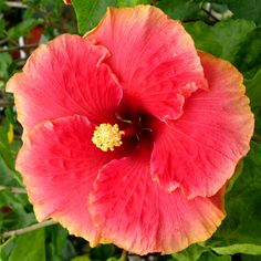 Hibiscus 'Red Satin'