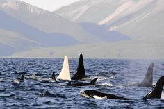 Albino orca ( E. Lazareva, Far East Russia Orca Project / April 23, 2012 ) An albino killer whale nicknamed Iceberg travels in a pod of 13 orcas near Bering island in the Commander islands in Russia. A team of Russian scientists say they will embark on a quest next week to observe the only all-white, adult killer whale ever spotted -- a majestic and elusive bull they have named Iceberg.