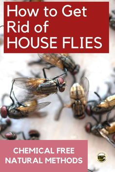 Here are several ways to get rid of flies, inside or outside your house. Chemical free, natural methods to kill house flies. Diy Pest Control, Bug Control, How To Catch Flies, Lavender Plant Care, Natural Spider Repellant, Killing Flies, Get Rid Of Flies, Fly Repellant, Cleaners Homemade