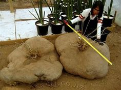Gerrardanthus macrorhizus 9... Caudexplanten Foto album van HarrieC