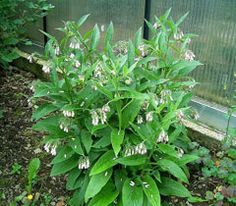 Comfrey: grows very quickly, producing a lot of bulk. Tolerant of being cut several times a year and can be used to provide 'instant compost' for crops such as potatoes. Simply layer the wilted leaves at the bottom of the potato trench or apply them as a mulch in no-dig gardens. A liquid feed can be obtained by soaking the leaves in a small amount of water for a week, excellent for potassium demanding crops such as tomatoes. The leaves are also a very valuable addition to the compost heap