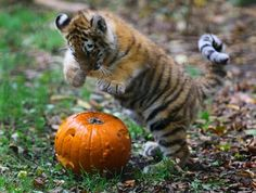 even tiger cubs celebrate Halloween