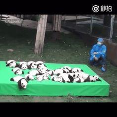 23 pandas demasiado tiernos nacen en China y el mundo esta feliz por esto