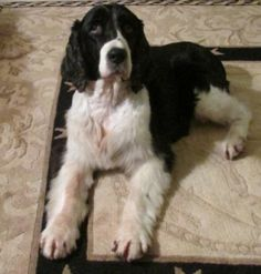 """Cici"" is up for adoption through NEESSR (NEW ENGLAND ENGLISH SPRINGER SPANIEL RESCUE  11-4-13)."