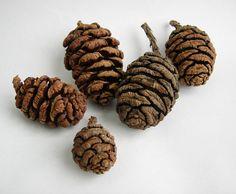 10 SEQUOIA CONES Rustic Décor Primitive Cabin Decor Pine Cone Craft Supplies on Etsy, $7.50