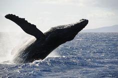 Hawaii_whale_Oahu_Maui_Kauai_Big_Island Humpback Whale
