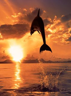 Dolphins <b>Jumping</b> In The <b>Sunset</b> - <b>wallpaper</b>.
