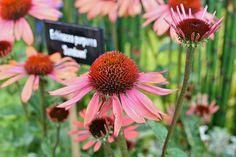http://en.wikiversity.org/wiki/BCP/Echinacea_purpurea