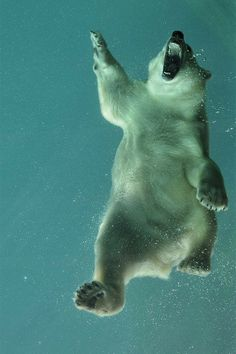 Polar Bear Under Water. Beautiful Creatures, Animals Beautiful, Cute Polar Bear, Polar Bears, Baby Animals, Cute Animals, Wild Animals, Funny Animals, Photo Animaliere