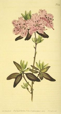 Dotted-leaved Rhododendron