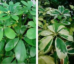 The Umbrella Plant - Old Fashioned somewhat but still very popular #houseplants #umbrellaplants
