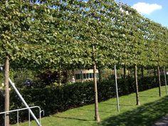 Leibomen zijn gewone bomen die men in een bepaalde vorm gaat leiden. Ze kunnen worden geleid als dakvorm om schaduw te geven op een terras als een soort parasol. Om inkijk te beperken of om een tuin af te bakenen kan men leibomen snoeien in een vlak. Men kan dan kiezen voor leibomen met étages …
