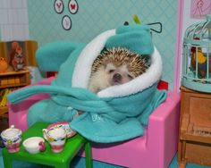 These hedgehog facts are all to true, amazing, and mind-blowing that we don't even need any introductory text here, though we feel compelled to put something here anyway. A hedgehog… Hedgehog Facts, Pygmy Hedgehog, Happy Hedgehog, Cute Hedgehog, Funny Animal Memes, Funny Animals, Guinea Pig Toys, Cat Toys, Cute Little Animals