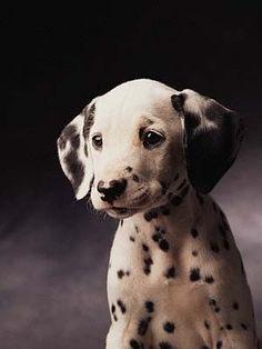 Sweet dalmatian puppy