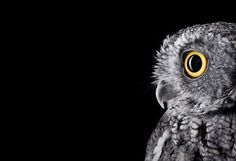 Incredible Studio Portraits of Wild Animals by Brad Wilson - Owl Studio Portraits, Pet Portraits, Studio Photos, Wildlife Photography, Animal Photography, Owl Background, Solid Background, Western Screech Owl, Surface Studio