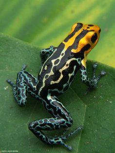 Ranitomeya fantastica Lowland morph