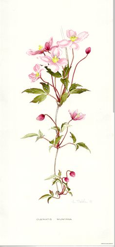 Clematis Montana, BY LYN NOBLE Vintage Botanical Prints, Botanical Drawings, Botanical Art, Vintage Art, Vintage Prints, Clematis Montana, Small Flower Tattoos, Spring Art, Plant Illustration