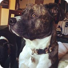 Gorgeous Boy in Hewitt, NJ - American Pit Bull Terrier Mix. Meet Pez a Dog for Adoption.