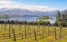 Vineyard on the lake - New Zealand. A vineyard near the lake in Wanaka, New Zeal , New Zealand Wine, New Zealand Travel, Milford Sound, South Island, New Perspective, Walking Tour, The Good Place, Vineyard, National Parks