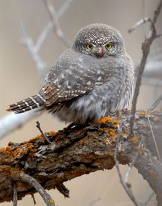 lmoses63:      Northern Pygmy Owls      Photo by Paul Higgins