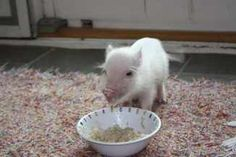 how to get a baby pot belly pig to eat