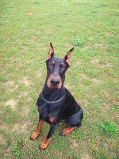 Doberman, Dogs, Animals, Beauty, Dog, Animales, Animaux, Pet Dogs, Doggies