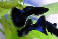 Dark blue Moscow Guppies (freshwater fish)