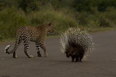 Story and photos by Craig Schaibman One early morning in April, on my morning drive in the Kruger National Park I headed down south towards Crocodile Bridge on the Main road. About 3km into my drive, I came across a…Read more ›