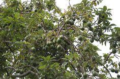 6. Avocado