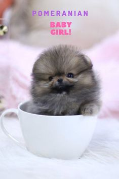 Marvelous Pomeranian Does Your Dog Measure Up and Does It Matter Characteristics. All About Pomeranian Does Your Dog Measure Up and Does It Matter Characteristics. Spitz Puppy, Puppy Husky, Pomeranian Puppy For Sale, Cute Pomeranian, Puppies For Sale, Pomeranian Memes, Spitz Pomeranian, Pomeranians, Pomeranian