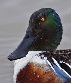 Taken at the Wetland centre Llanelli. Barnyard Animals, Zoo Animals, Animals And Pets, Waterfowl Hunting, Duck Hunting, World Birds, All Birds, Beautiful Birds, Animals Beautiful