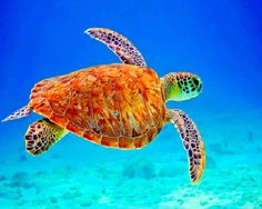 Stunning Pictures Of Sea Turtles can find Turtles and more on our website.Stunning Pictures Of Sea Turtles Beautiful Sea Creatures, Animals Beautiful, Cute Animals, Cute Turtles, Sea Turtles, Baby Turtles, Sea Turtle Pictures, Turtle Love, Mundo Animal