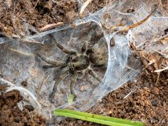 Elizabethfontein Baboon Spider (Harpactira marksi) from Piketberg, South Africa Big Spiders, Baboon, Animal Photography, South Africa, Photos, Animals, Animales, Nature Photography, Animaux