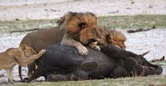 Jovem leão derruba filhote de elefante no Parque Nacional Hwange, no Zimbábue. O elefante ainda tentou escapar desequilibrando o inimigo, mas outros dois leões se aproximaram e venceram a disputa. A imagem foi retratada por Heidi e Kurt Haas. Segundo Haas, a luta do elefante pela sobrevivência levou cerca de 40 minutos