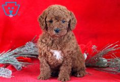 Look at this astonishing Mini Goldendoodle ready to jump into your arms & load you with puppy kisses. She is extremely social sure to turn Goldendoodle Miniature, Miniature Puppies, Goldendoodle Puppy For Sale, Boxer Puppies, Cute Dogs And Puppies, Baby Dogs, Puppies For Sale, Cute Funny Dogs, Puppy Breeds