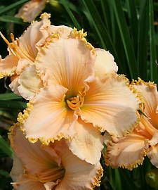 Daylily IT'S A MIRACLE