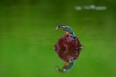 Kingfisher on Red Rock in Green with Fish ! by Mubi.A