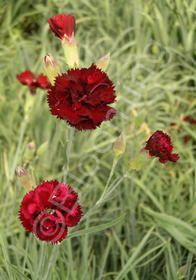 Dianthus caryophyllus 'Grenadin Cardinal Red' Hardy Carnation