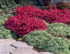 Erica - giardino mediterraneo