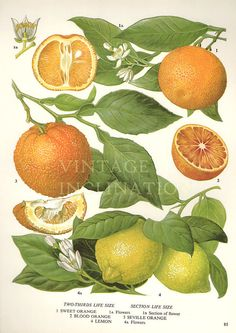 Vintage Botanical Print Antique CITRUS plant by VintageInclination