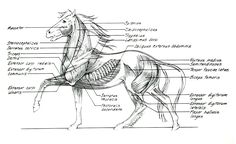 horse anatomy | Horse Anatomy - Muscles