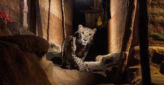 A Majestic Leopard A