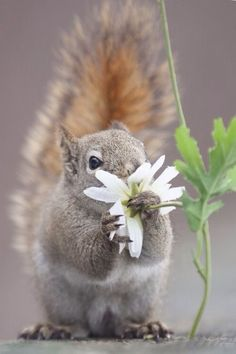 """Red squirrel by Andre Villeneuve.everyone should take time to """"stop and smell the roses…or daisies…"""" Smart squirrel Nature Animals, Animals And Pets, Baby Animals, Funny Animals, Cute Animals, Animals Planet, Cute Creatures, Beautiful Creatures, Animals Beautiful"""